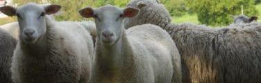 Mouton - Agneau et mouton