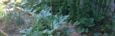 Le Ménitré - Légume-feuille