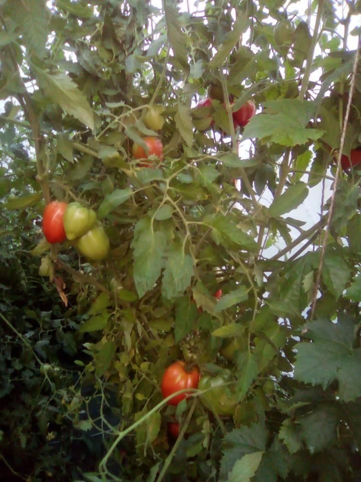 Tomate Bush - Arbre fruitier