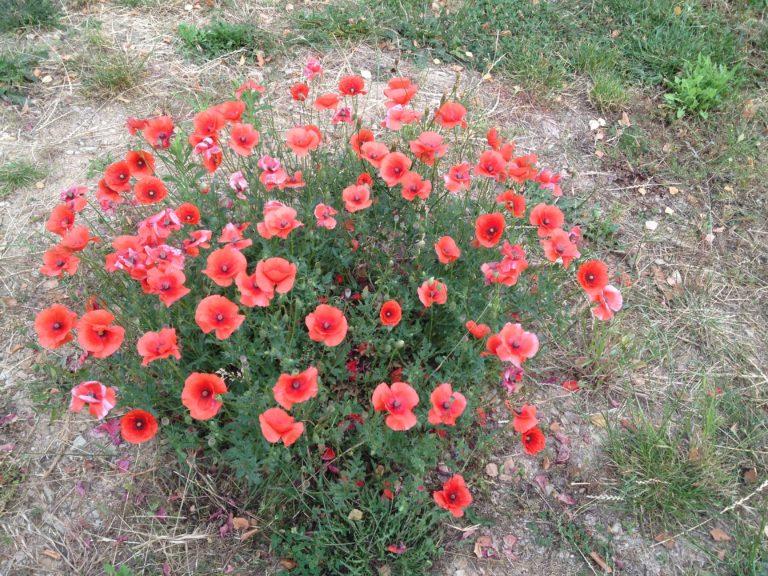 Couverture de sol - Plante à fleurs