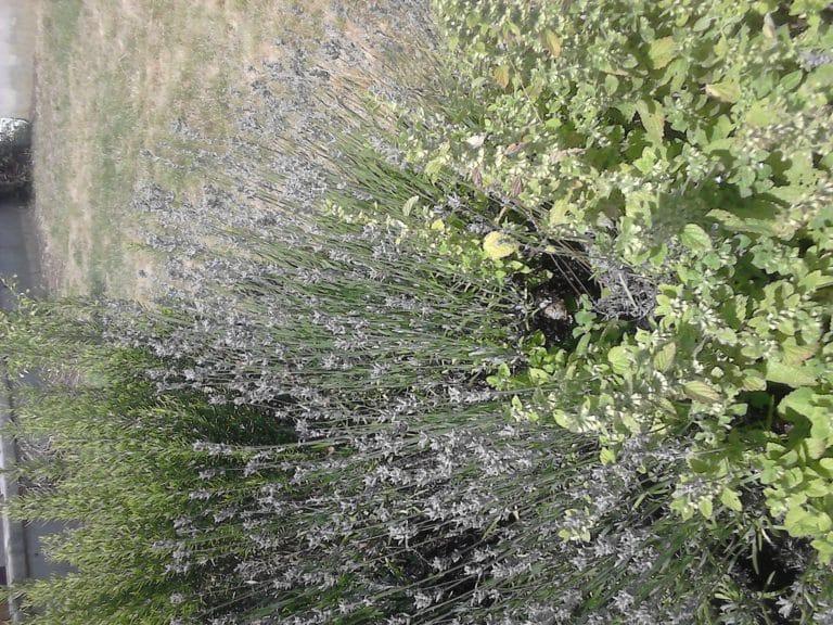 Lavande anglaise - Arbuste