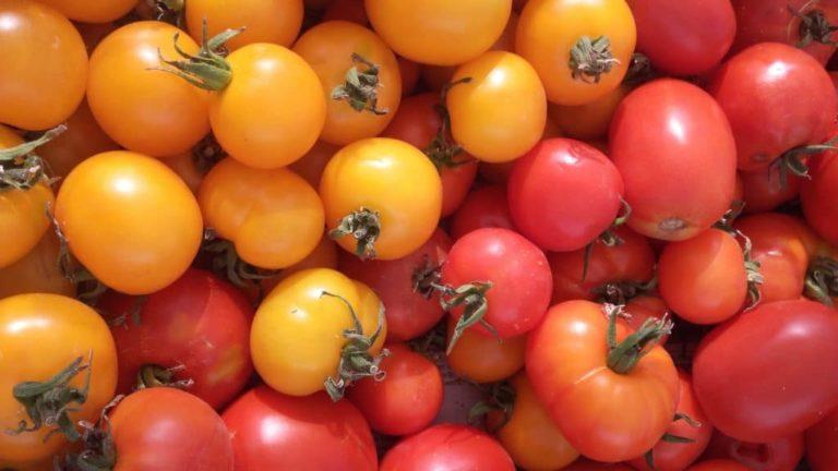 JP le Petit Jardinier - Tomate Bush