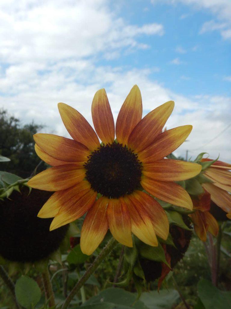 Ain - Plante à fleurs