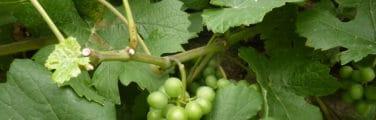 Donné - Grain de raisin