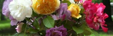 Famille Rose - Roses de jardin