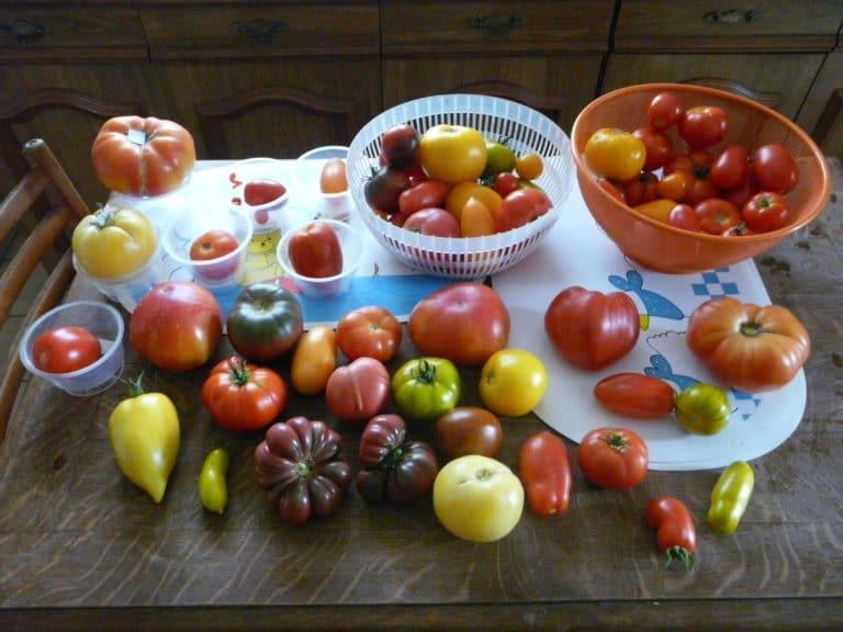 Tomate - Légume