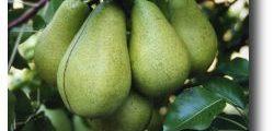 Arbre fruitier - Poire