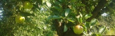 Arbre fruitier - Indien bael