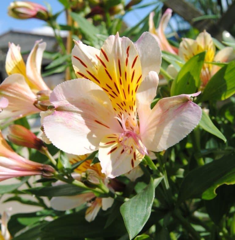Apremont - Plante annuelle
