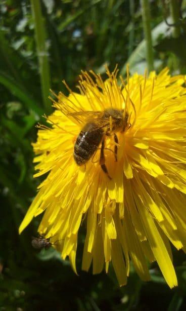 Insecte - Abeille
