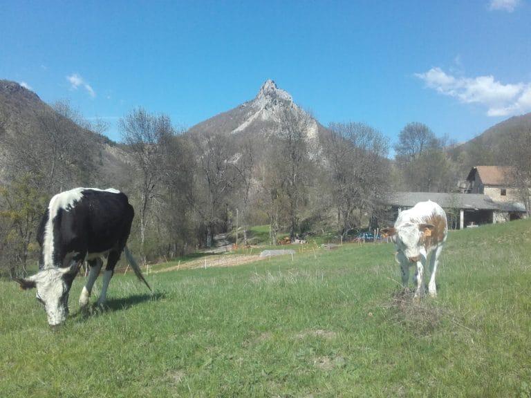 Alpes-de-Haute-Provence - Vaches laitières