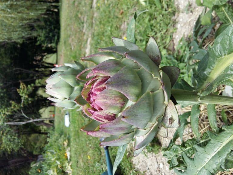 Artichaut - Les plantes