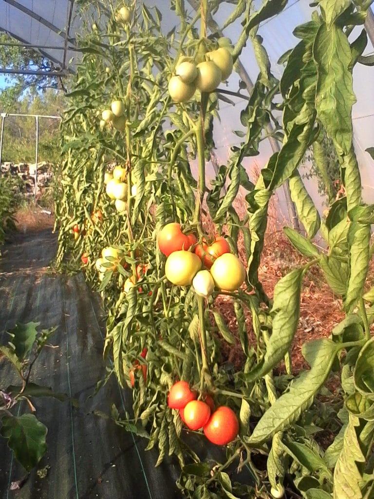 Tomate - Les Aspes
