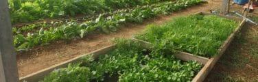 Surgir - Légume-feuille