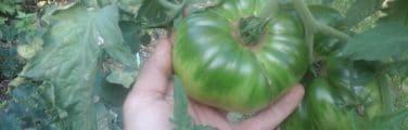 Tomate Bush - Légume