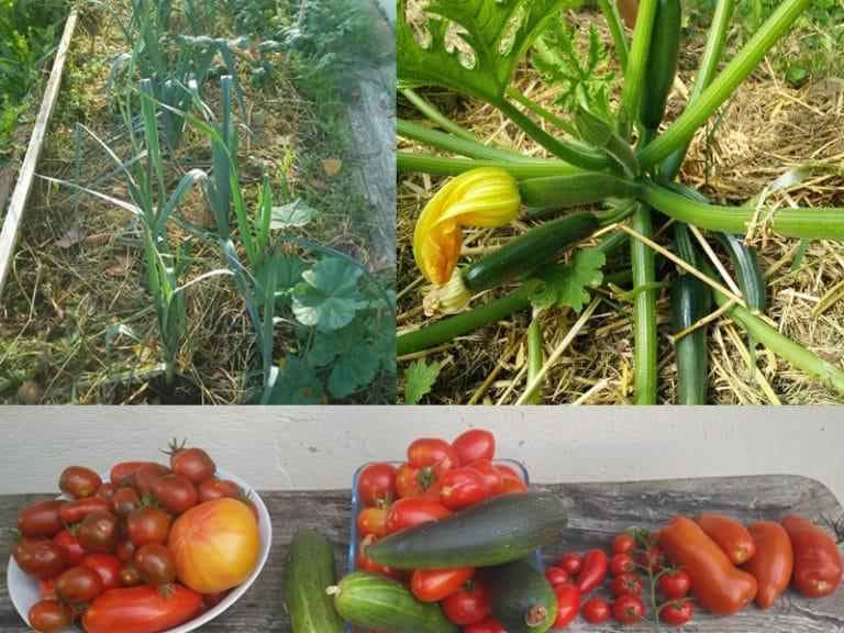 Tomate - Tomate Bush