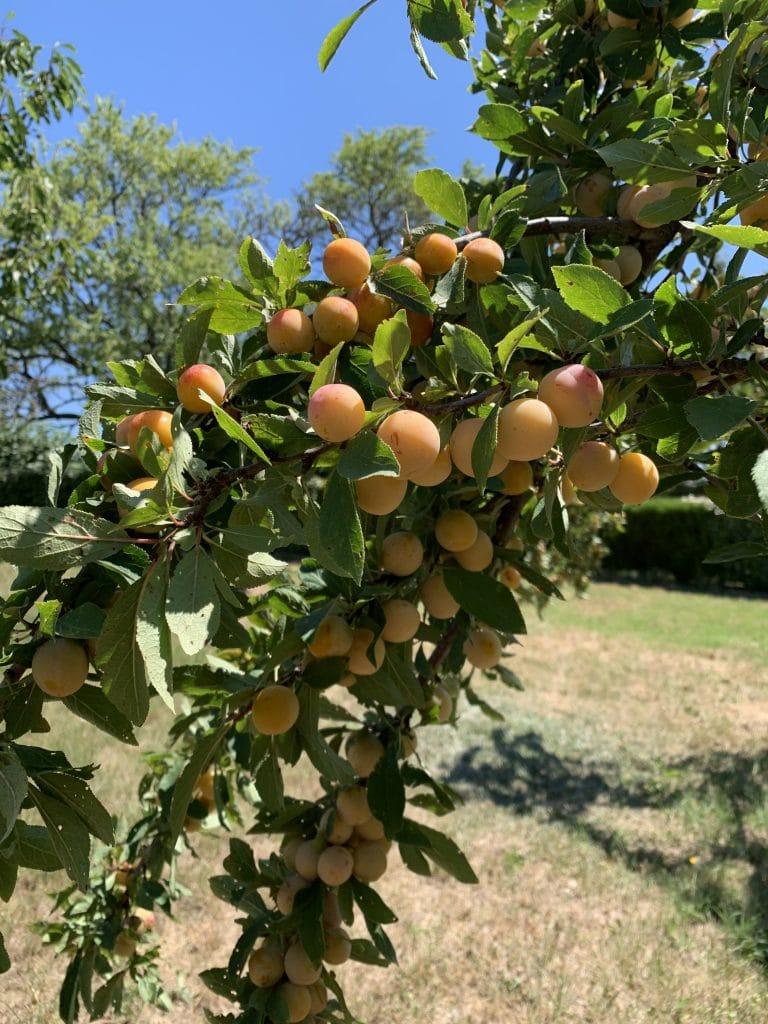 Abricot - Arbre fruitier