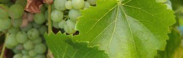 Fruits sans pépins - Sultane