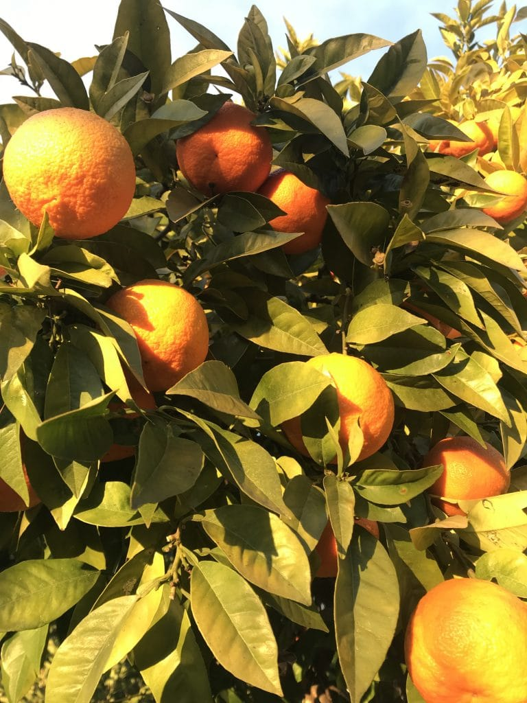 Orange de Valence - Arbre fruitier