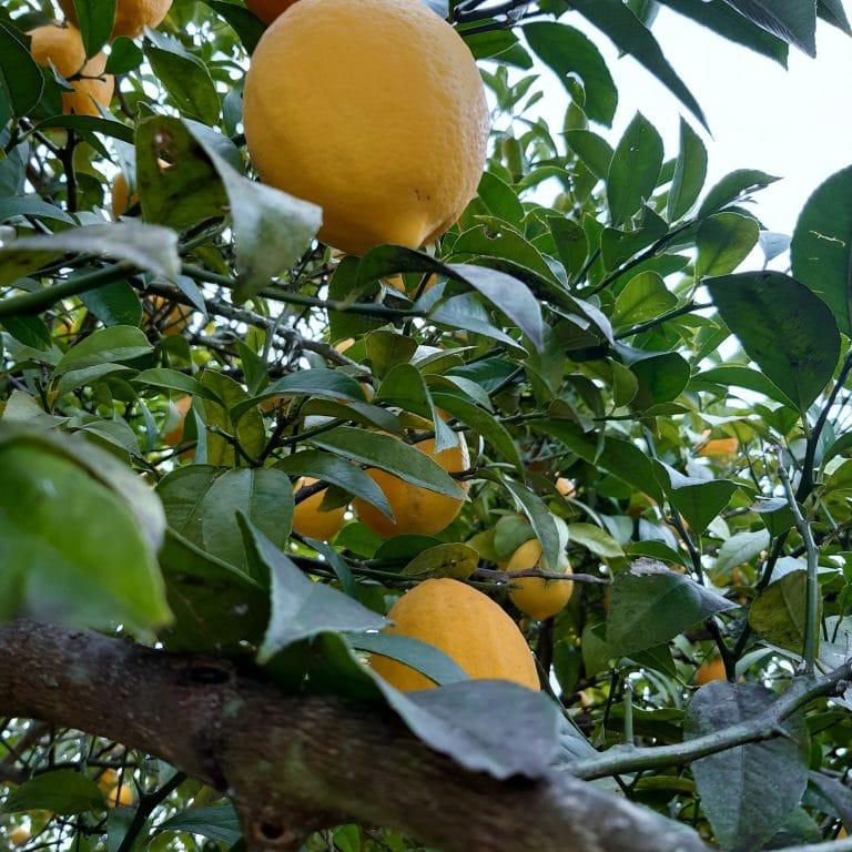 Arbre fruitier - Orange amère