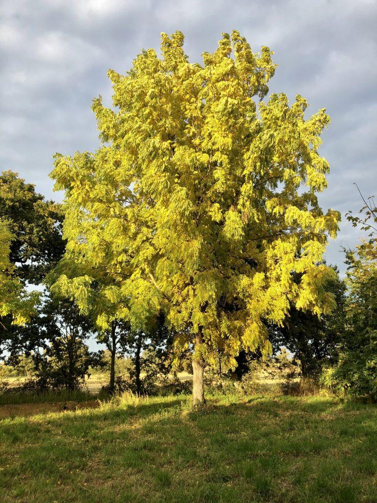 Arbre de Maidenhair - Plante ligneuse
