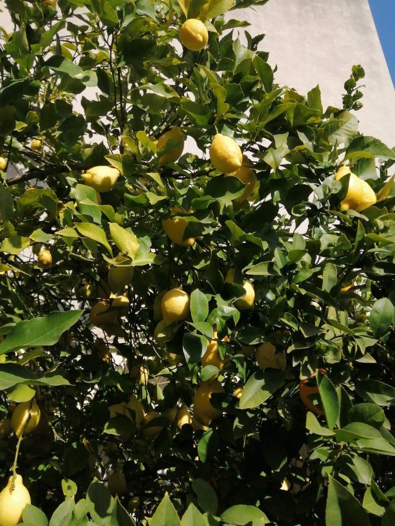 Orange amère - Arbre fruitier