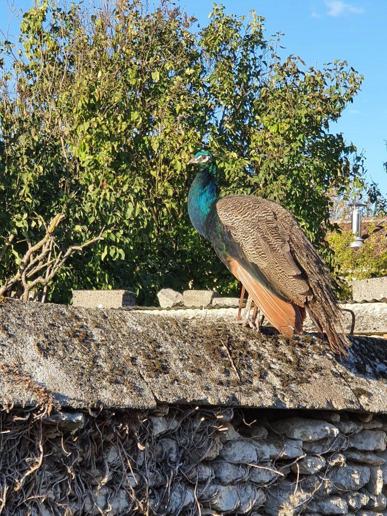 Des oiseaux - Paon
