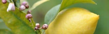 Citron - Plante